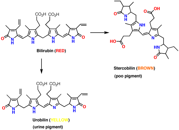 bilirubin-breakdown